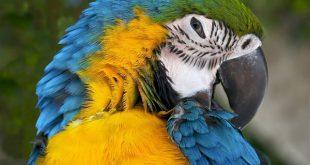 Сине-желтые попугаи ара умеют краснеть
